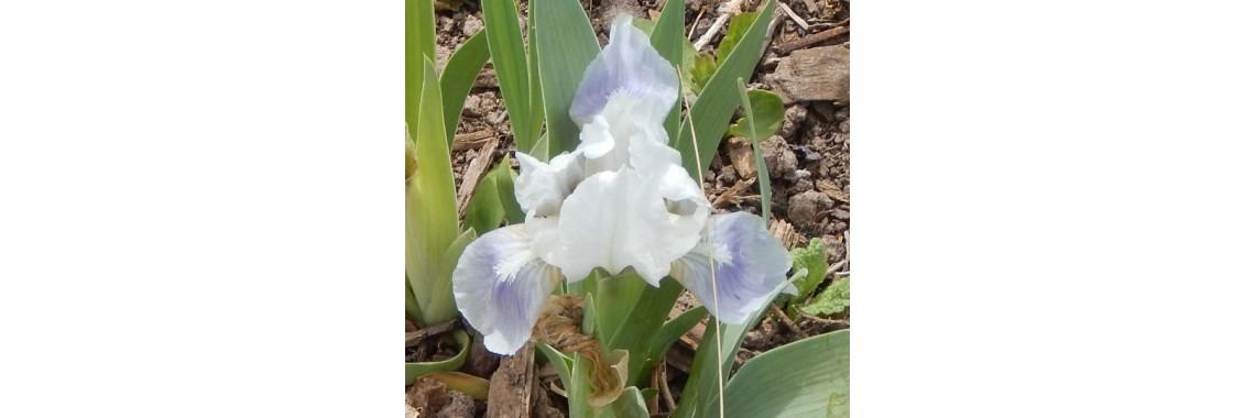 Dwarf Iris Society